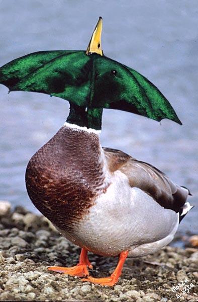duckbrellab
